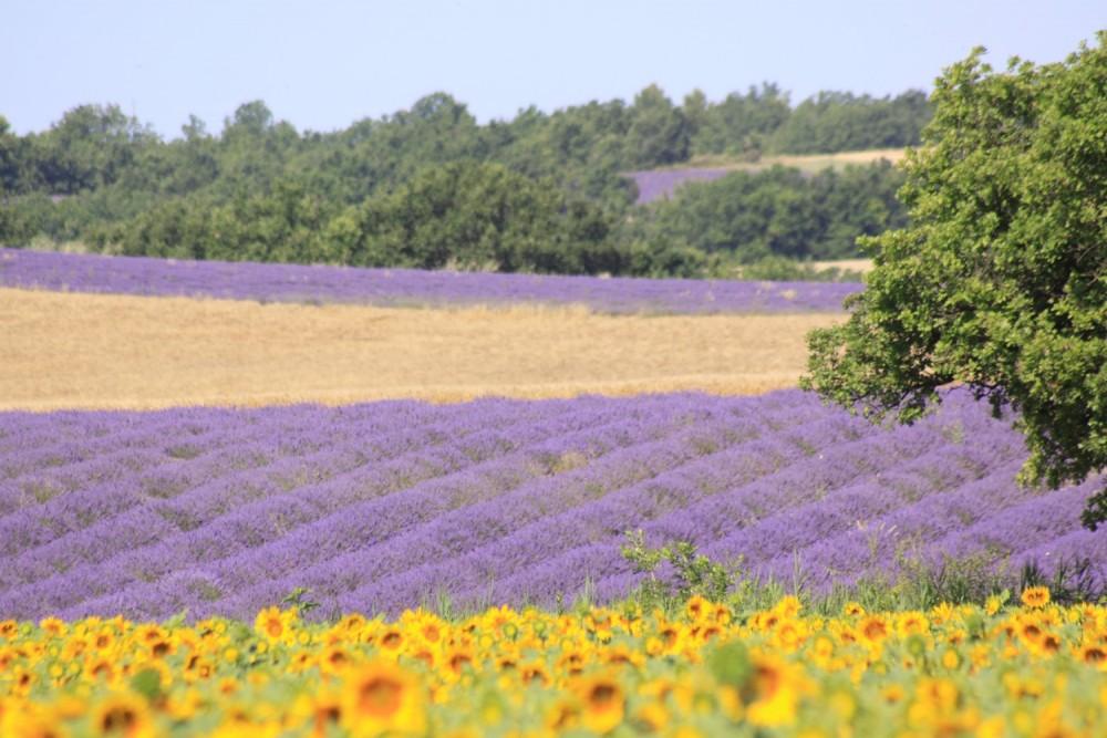 Plateau de Valensole, champs de lavande